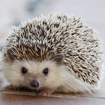 hedgehog-1215140_347