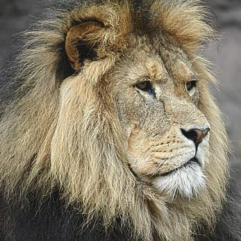 lion-1209289_347