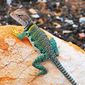 lizard-1210070_347