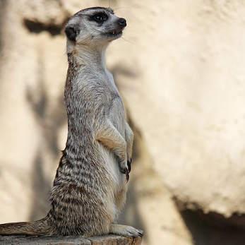 meerkat-4417764_347
