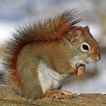 red-squirrel-570936_347